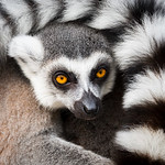 Ringtal Lemur (Lemur catta)