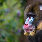 Multi-colored face (Mandrillus sphinx)